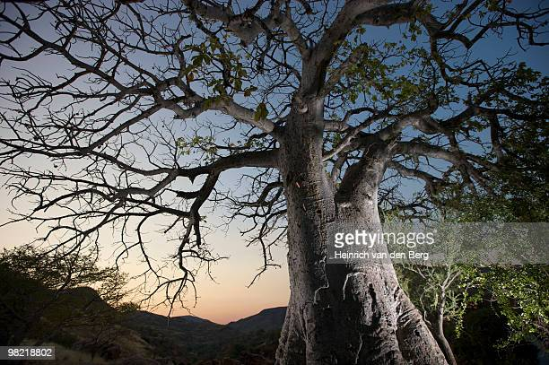 Floodlit Baobab tree next to Epupa Falls, Kunene River, Kaokoland, Namibia