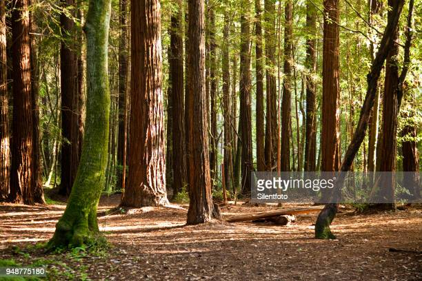 floor of redwood forest, california - redwood tree stock photos and pictures