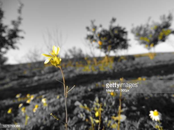 flor amarilla en foto blanco y negro - blanco y negro photos et images de collection