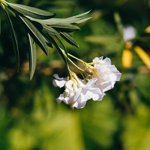 flor branca mfl