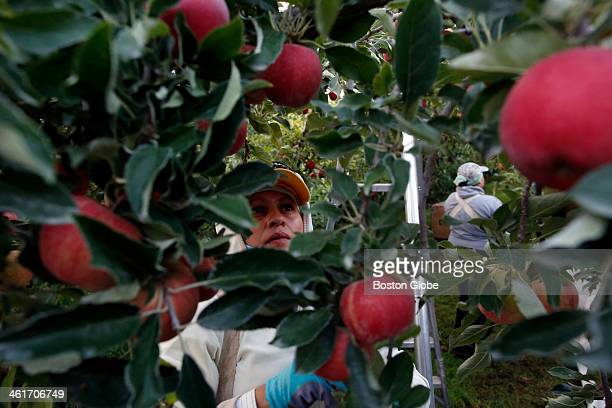 Flor Cerventes left picks organic apples in the orchards alongside her daughter Alicia in Mattawa Wash Aug 23 2013 Flor who is a resident of Mattawa...