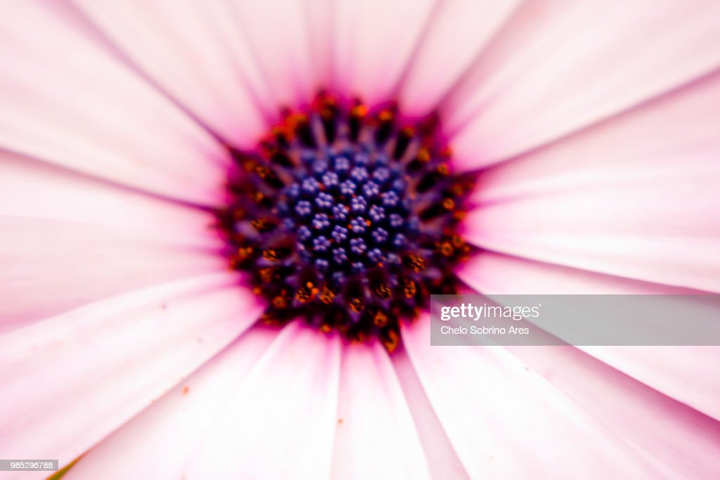 Flor Rosa : Stock Photo