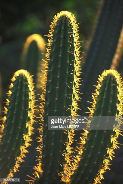 Flora flower cactus zoom flore fleur cactus gros plan.