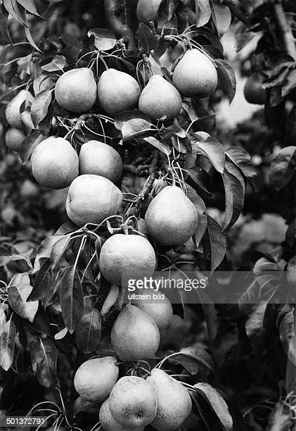 Flora fruits young pear tree date unknown