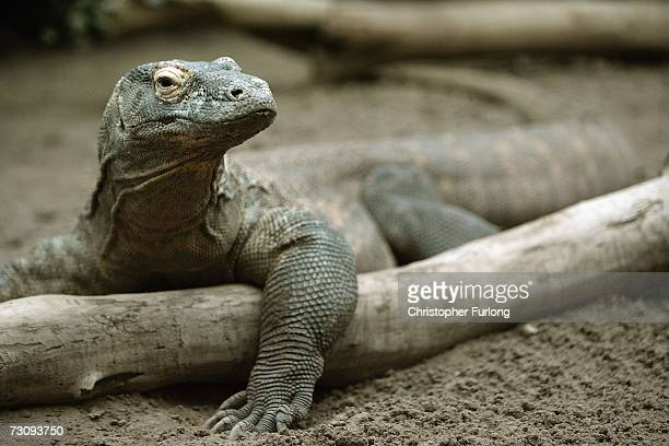 Flora the virgin Komodo Dragon sits in her pen at Chester Zoo after giving birth to five baby dragons despite being a virgin on January 24 Chester,...