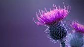 Floral blue-violet background.  Pink  thorny thistle flower. A pink flower on a blue background. Closeup.  Nature.