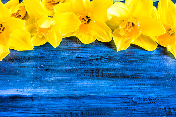 Free yellow flower and blue background images pictures and royalty ranunculus flowers floral frame with beautiful daffodils flowers selected on wooden mightylinksfo