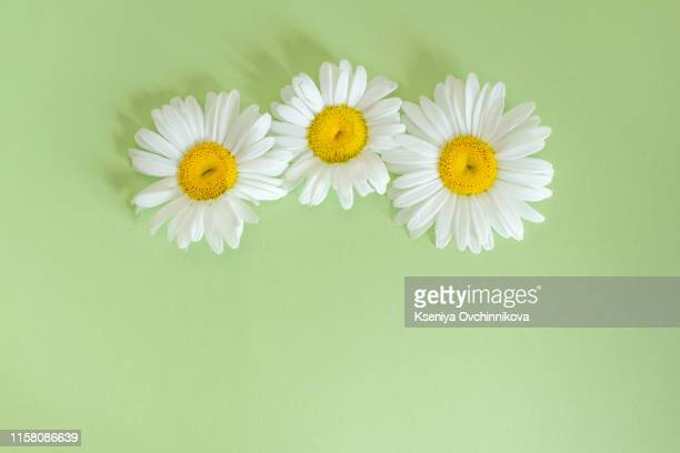 floral pattern of white chamomile daisy flowers on yellow background. flat lay, top view. floral background. pattern of flower buds. - chamomile plant stock pictures, royalty-free photos & images