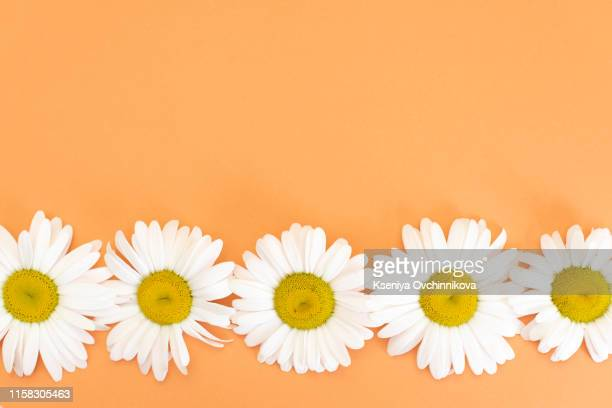 floral pattern with small daisy flowers leaves and petals on blue trendy pastel background. flower pattern flat lay top view frame composition with copy space. - flower head stock pictures, royalty-free photos & images