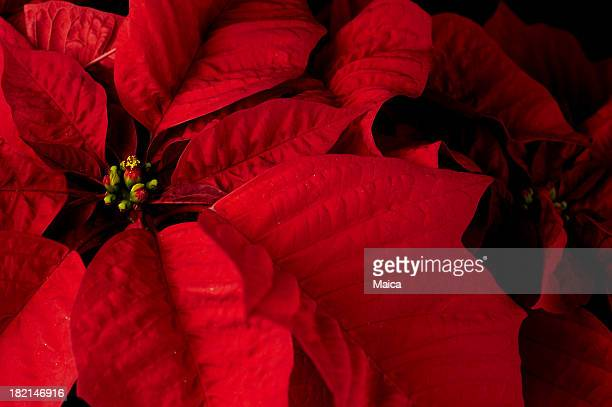 floral - christmas star stock photos and pictures