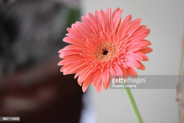 #floralove - gerbera daisy stock pictures, royalty-free photos & images