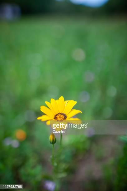 flore - petite fleur dans un champs - fleur flore stock pictures, royalty-free photos & images