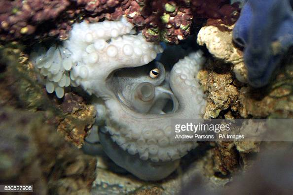 florence a common octopus who has given birth to eight