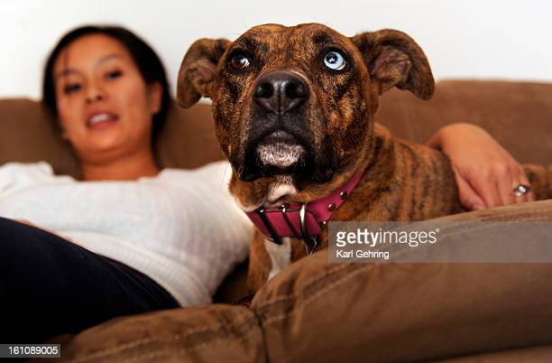 CD12PITBULL Florence Sasek lounged on the couch with her fiveyearold female American Staffordshire Terrier named Isis Wednesday evening November 11...
