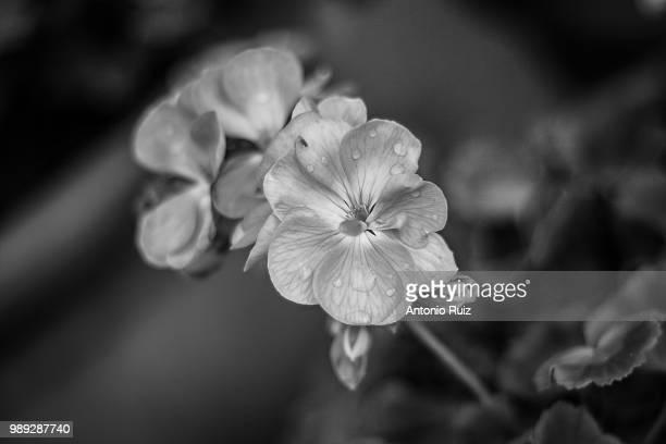 flores en blanco y negro - blanco y negro bildbanksfoton och bilder