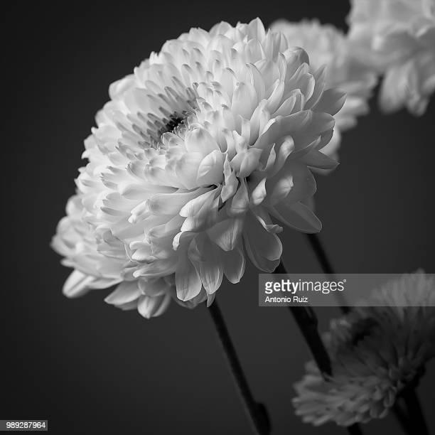 flores en blanco y negro - blanco y negro ストックフォトと画像