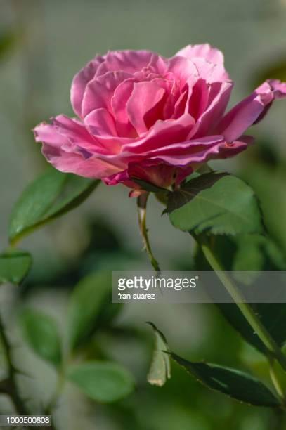 flores - suarez stock pictures, royalty-free photos & images