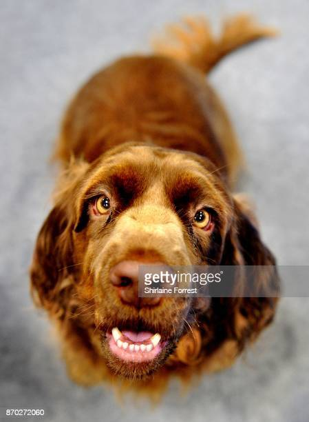 Florey, a Sussex Spaniel attends the National Pet Show at The NEC Arena on November 4, 2017 in Birmingham, England.