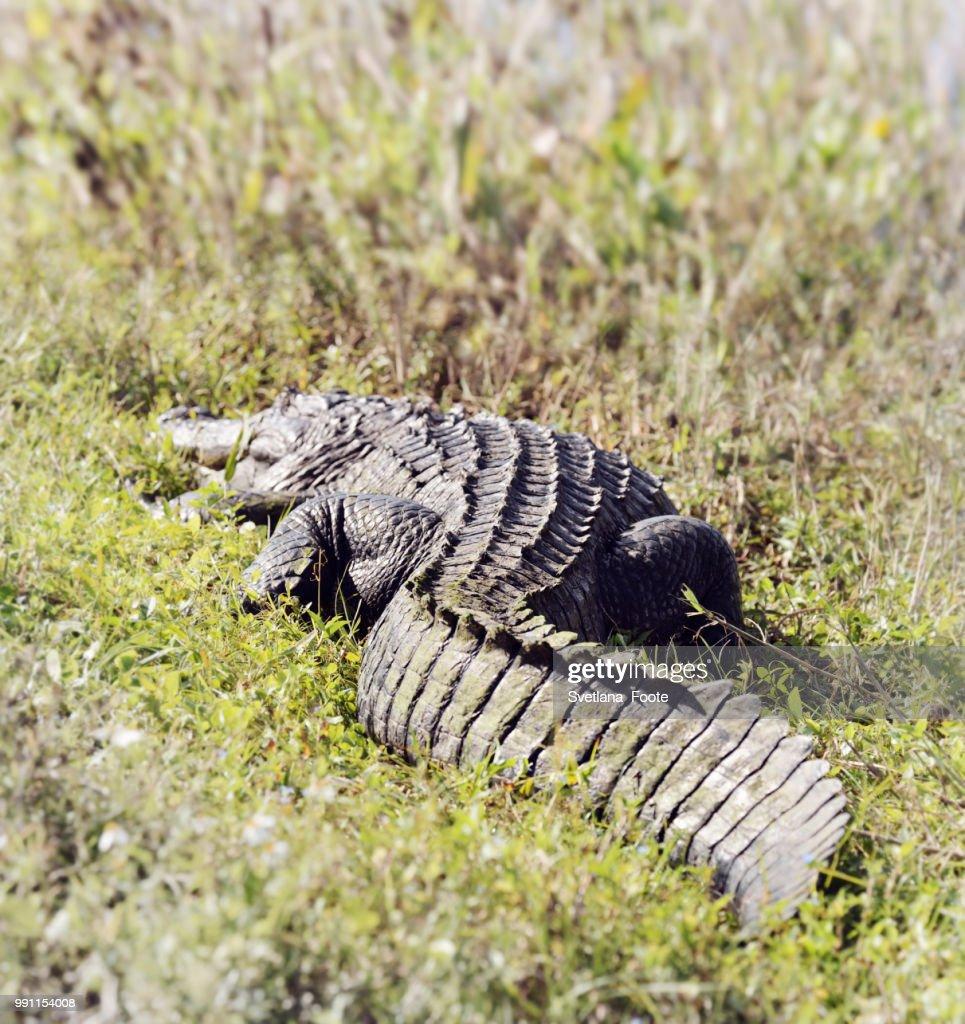 Florida Alligator : Stock Photo