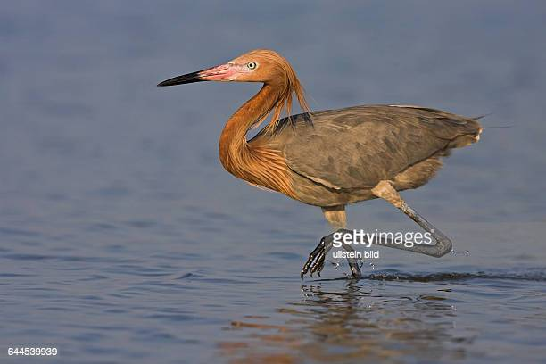 Florida August 2007 | Rötelreiher | Reddish Egret
