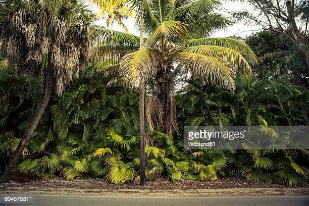 usa, florida, captiva island, palm trees at the roadside - captiva island - fotografias e filmes do acervo