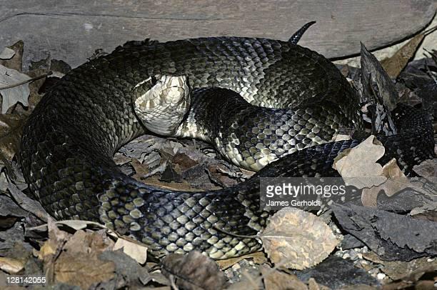 florida cottonmouth, agkistrodon piscivorous, florida, usa - cottonmouth snake stock pictures, royalty-free photos & images