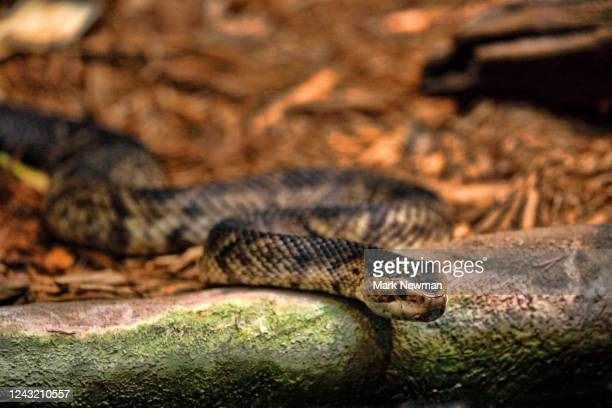 florida cottonmouth - cottonmouth snake stock pictures, royalty-free photos & images