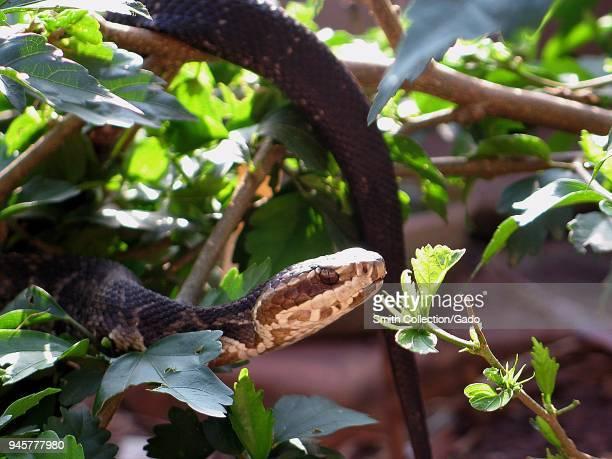 Florida cottonmouth snake climbing amongst foliage Florida Image courtesy Centers for Disease Control / Edward J Wozniak