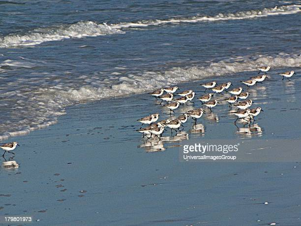 Florida, Crescent Beach, Siesta Key, Sarasota, a flock Sanderlings on the Beach.