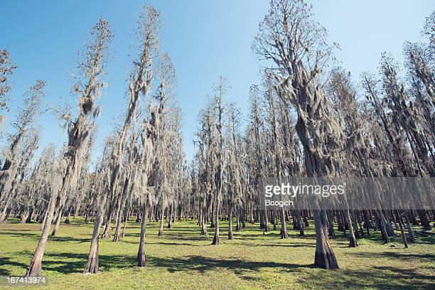 florida cypress trees growing tall from green grass - plant city stock pictures, royalty-free photos & images