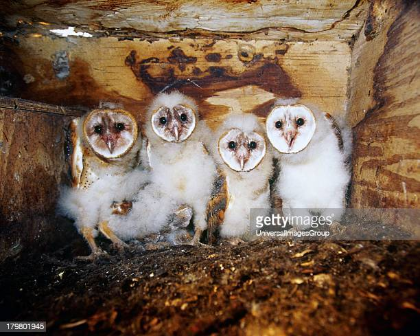 Florida Everglades Agricultural Area Barn Owl Owlets in Nest Box