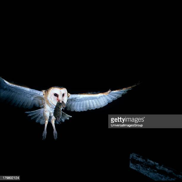Florida Everglades Agricultural Area Barn Owl Returning to Nest Box with Rat