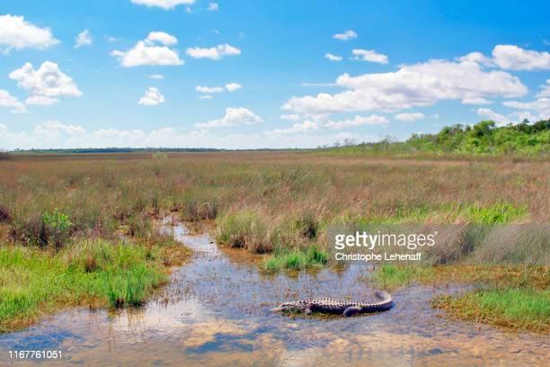 usa. florida. everglades national park. alligator close to the entrance. - florida gators stock pictures, royalty-free photos & images