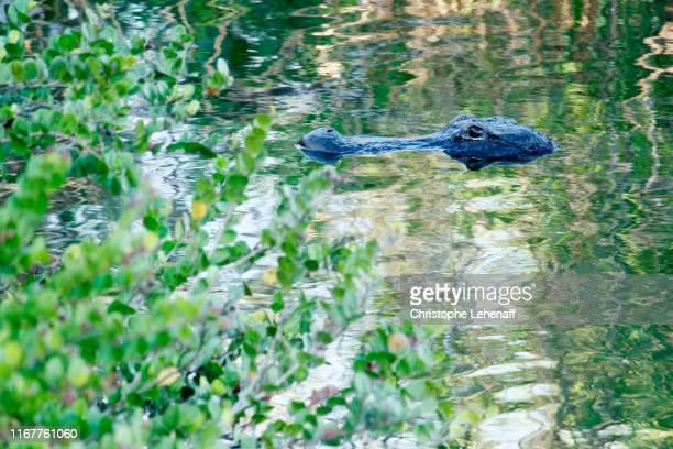 usa. florida. everglades national park. anhinga trail. alligator. - anhinga_trail stock pictures, royalty-free photos & images