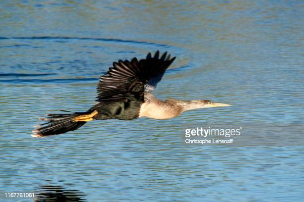 usa. florida. everglades national park. anhinga trail. close up on an american dartera in full flight. - anhinga_trail stock pictures, royalty-free photos & images