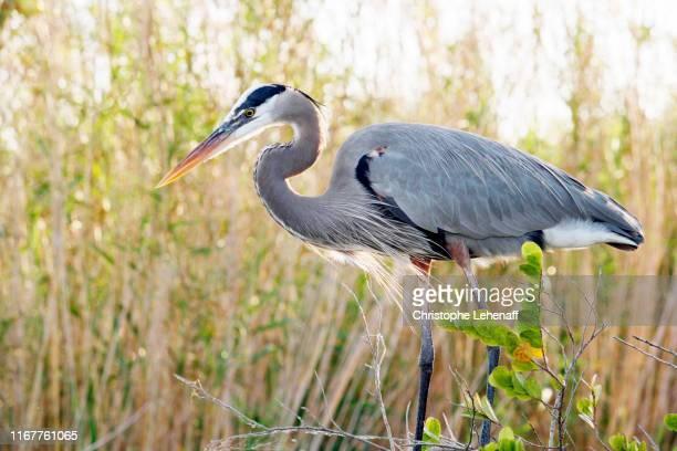 usa. florida. everglades national park. anhinga trail. close-up of a great heron during the hunt. - anhinga_trail stock pictures, royalty-free photos & images