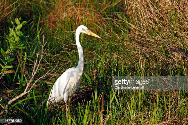 usa. florida. everglades national park. anhinga trail. egret hunting in the vegetation. - anhinga_trail stock pictures, royalty-free photos & images