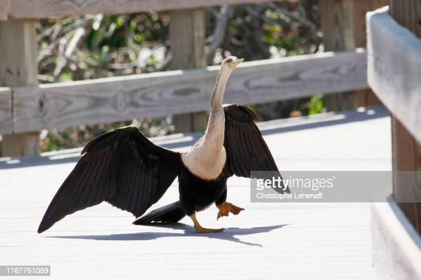 usa. florida. everglades national park. anhinga trail. female anhinga walking on the bridge. - anhinga_trail stock pictures, royalty-free photos & images