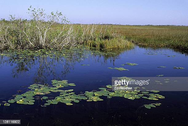 florida. everglades np. anhinga trail. taylor slough. water lilies and saw grass. - anhinga_trail stock pictures, royalty-free photos & images
