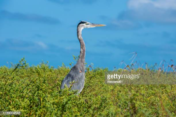 usa, florida, florida keys, dry tortugas national park, great blue heron - dry tortugas stock pictures, royalty-free photos & images