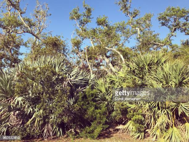 florida forest - live oak tree stock pictures, royalty-free photos & images
