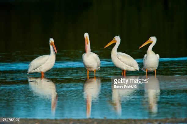 florida, fort meyers, sanibel island, american white pelican - 国立野生生物保護区 ストックフォトと画像