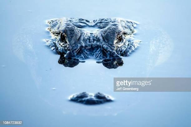 Florida, Gainesville, Alligator close up.