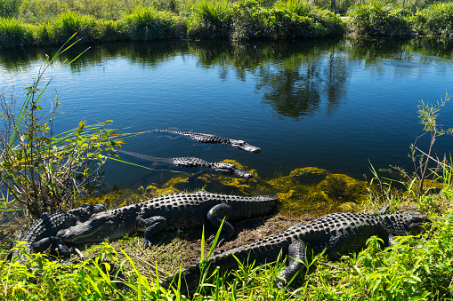 USA, Florida, Herd of crocodiles enjoying the sun in everglades national park 910156382