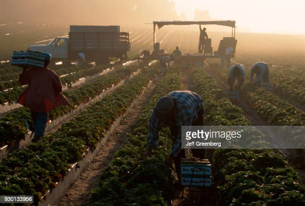 Florida Hillsborough County Dover Mexican migrant workers harvest strawberries at sunrise