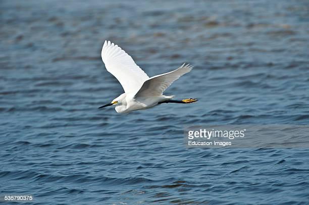 Florida Immokalee Snowy Egret Flying