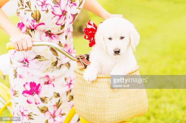 usa, florida, jupiter, mid-section shot of woman wearing dress driving bicycle with white puppy sitting in basket  - dog knotted in woman stock pictures, royalty-free photos & images