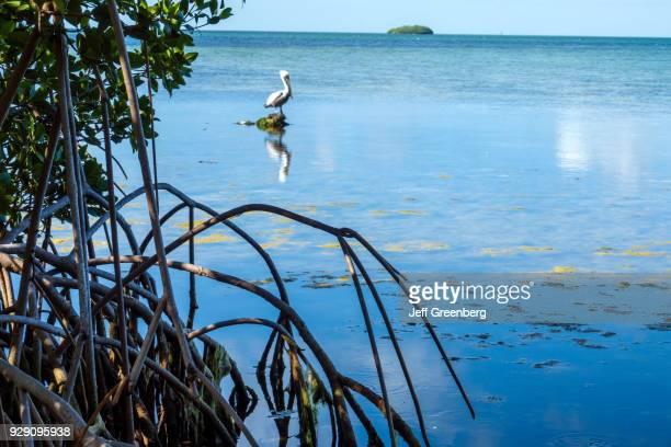 Florida Key Largo Florida Keys Center Laura Quinn Wild Bird Sanctuary Pelican in Water with Mangrove