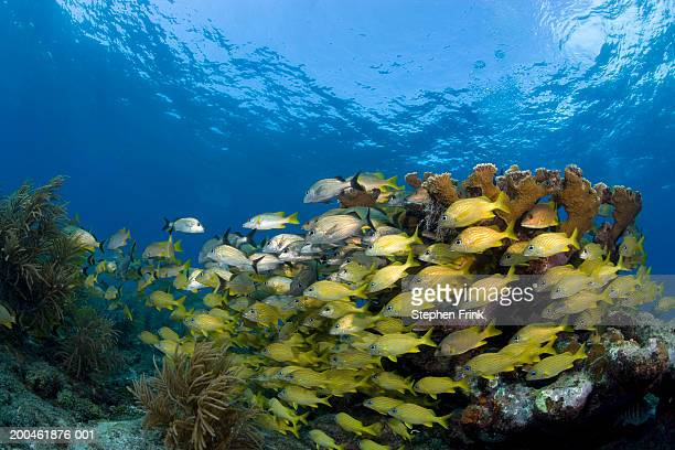 USA, Florida, Key Largo, school of fish, underwater view