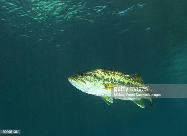 a florida largemouth bass in the clear waters of rainbow river, florida. - largemouth bass stock pictures, royalty-free photos & images